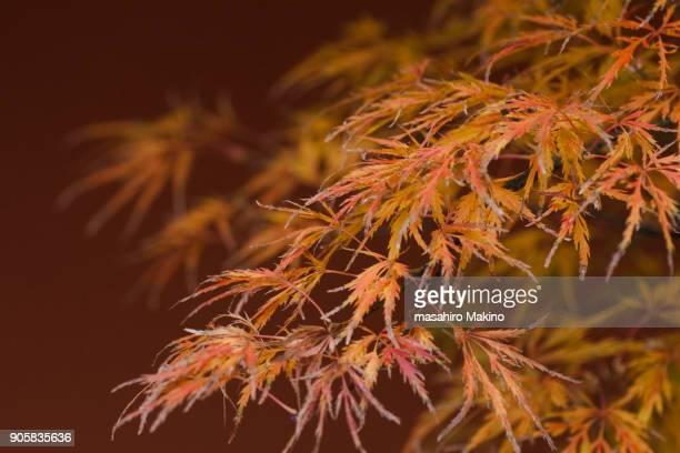 Tamukeyama (Acer Palmatum)