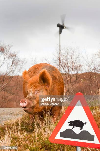 a tamworth pig on the isle of raasay, scotland, uk. - 雌豚 ストックフォトと画像
