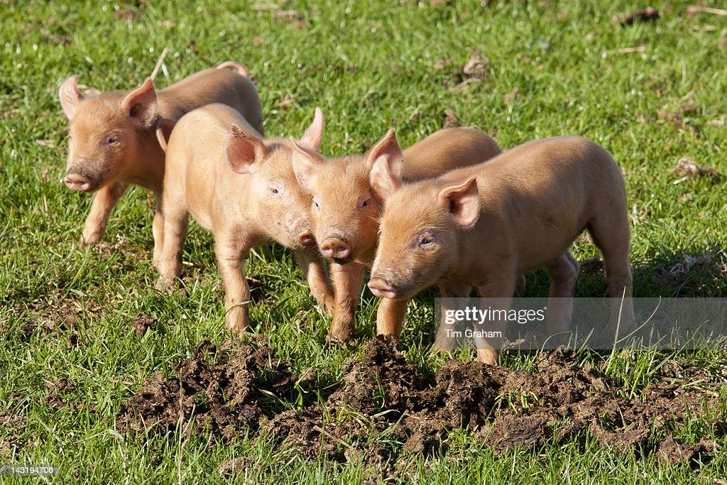 Tamworth Piglets, UK : News Photo