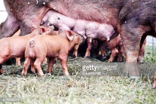 Tamworth Pigs Feeding At Teats High Res Stock Photo Getty