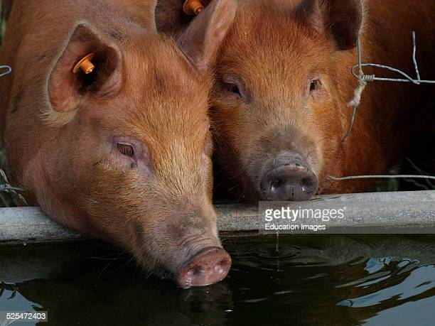 Tamworth X Berkshire pigs drinking from a water trough, UK.