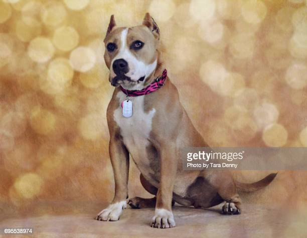 Tan and white pit bull type dog poses pretty against golden bokeh