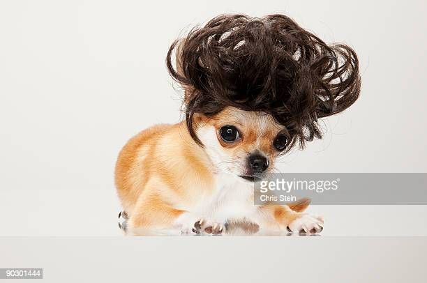 tan chihuahua dog wearing a wig - chihuahua dog stock pictures, royalty-free photos & images