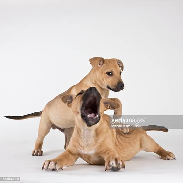 Tan Mastiff puppies