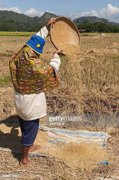 Tana Toraja, rice harvest, woman winnowing