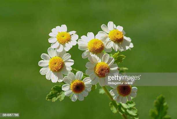 Tanacetum parthenium, the feverfew, is a traditional medicinal herb which is commonly used to prevent migraine headaches..
