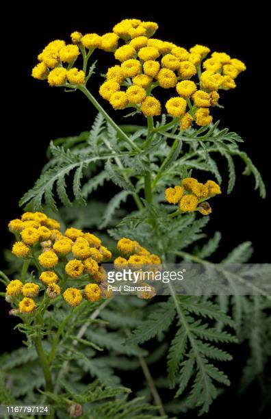 tanacetum vulgare (common tansy, golden-buttons, tansy) - tansy stock pictures, royalty-free photos & images
