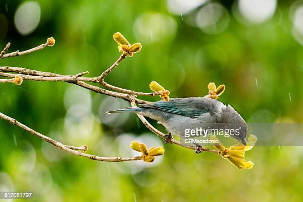 tanager eating golden trumpet tree flower - crmacedonio stockfoto's en -beelden