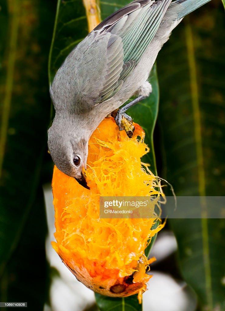 Tanager eating mangoes. : Stock Photo