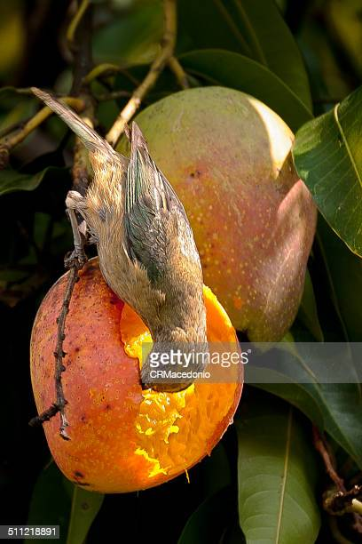 tanager eating mangoes - crmacedonio stock pictures, royalty-free photos & images