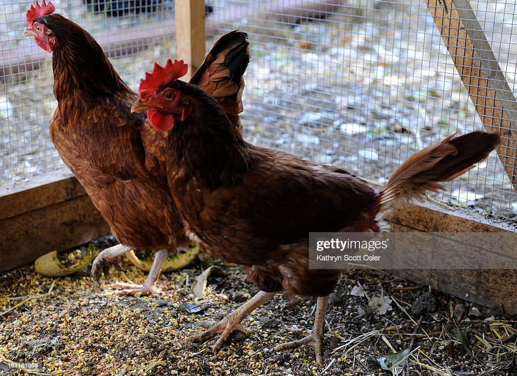 Tandy Haddock was one of the original backyard chicken permit holders in Longmont, and her two Rhode Island Reds produce fresh eggs every day for her family to eat. Kathryn Scott Osler, The Denver Post.