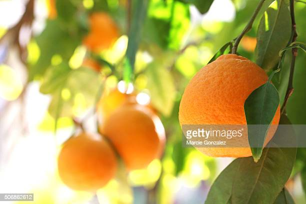 tangelo orange fruit tree - orange orchard stock photos and pictures
