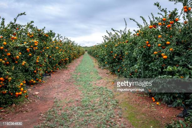 tangerine trees in valencia, spain - orange orchard stock pictures, royalty-free photos & images