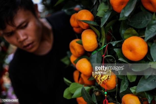 A tangerine trees is seen for Chinese New Year at a street market in Jakarta Indonesia on Monday Jan 28 2019 Tangerine trees are imported from China...