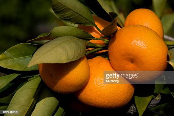 tangerines, Citrus reticulata, fruit in tree