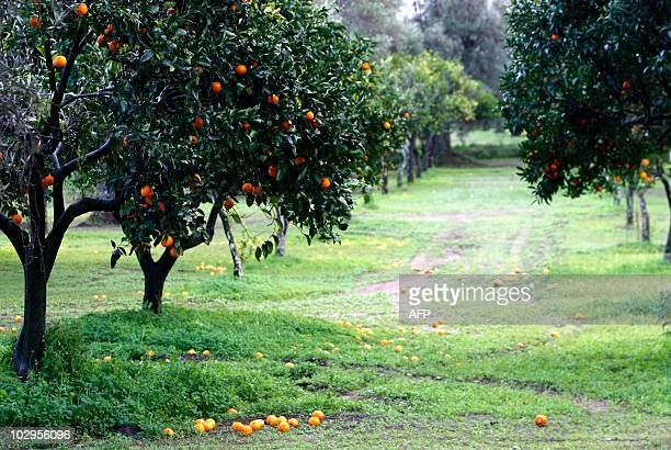Tangerines fall on the ground as nobody harvest them in tangerine fields in Rosarno on January 10 2010 a day after more than 900 immigrants fled the...