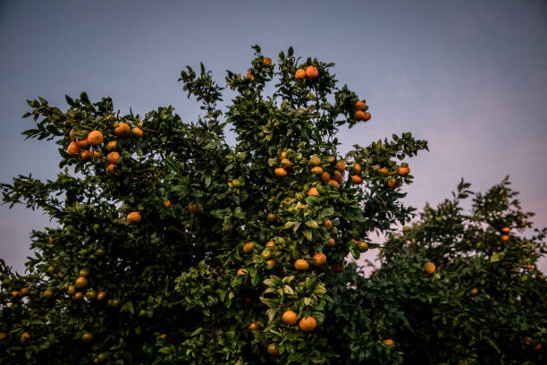 ESP: Spanish Clementine Farming as Europe's Citrus Growers Get Unexpected Lift From Covid