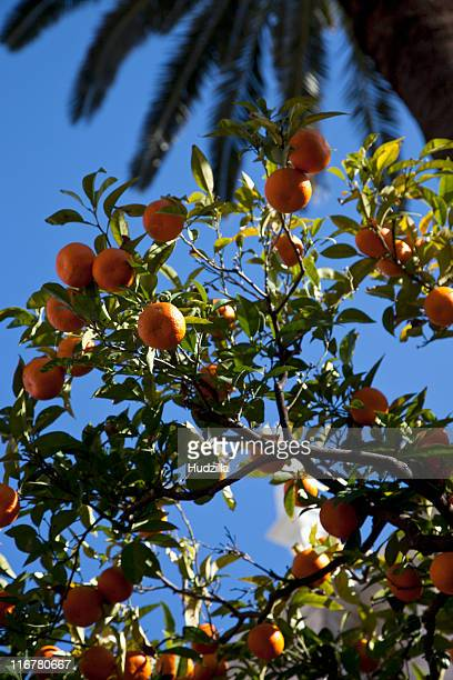 tangerines hanging from tree on a sunny day - 果樹園 ストックフォトと画像