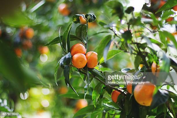 tangerines in the orchard - orange farm fotografías e imágenes de stock