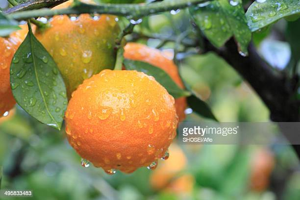 tangerines, japan - orange orchard stock photos and pictures