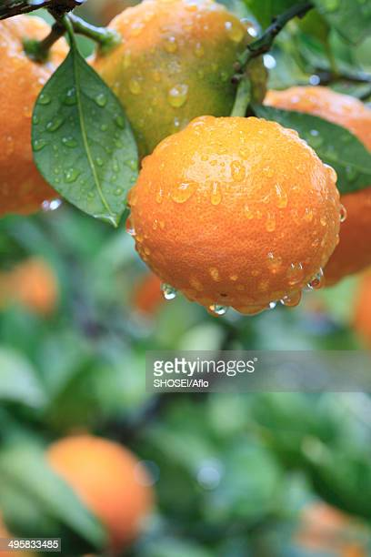 tangerines, japan - orange grove stock photos and pictures
