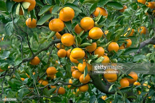 Tangerines, Japan