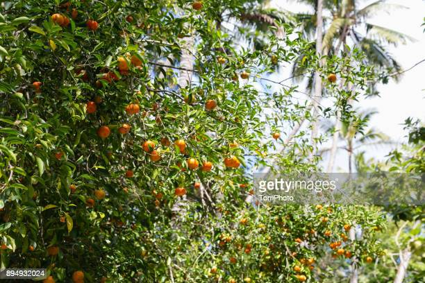 Tangerines on the tree ready for the harvest