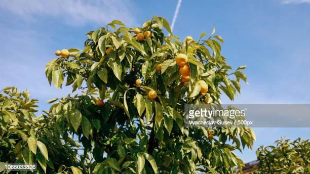 tangerines on tree on sunny day - 果樹園 ストックフォトと画像