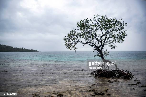 tangle of mangrove roots exposed. a isolated mangrove tree, coastal vegetation - ソロモン諸島 ストックフォトと画像