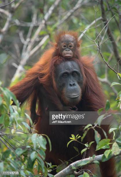 a female adult bornean orangutan with young riding on its back in the forests of tanjung putin national park in indonesia. - threatened species stock photos and pictures