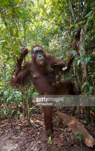 A female adult Bornean orangutan with young emerges from the forests of Tanjung Putin National Park in Indonesia.
