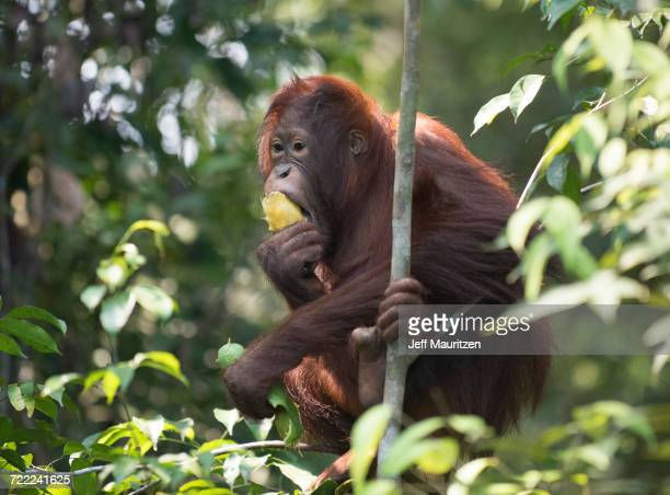 """""""tanjung puting national park, indonesia."""" - mammal stock pictures, royalty-free photos & images"""