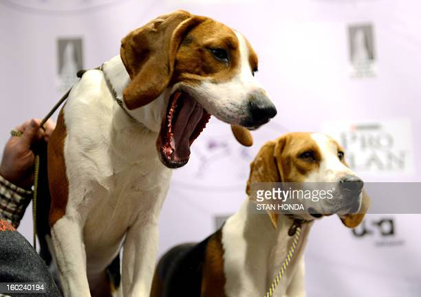 Tank and Meg two Treeing Walker Coonhounds during a press conference January 28 2013 by The Westminster Kennel Club to introduce two new breeds that...