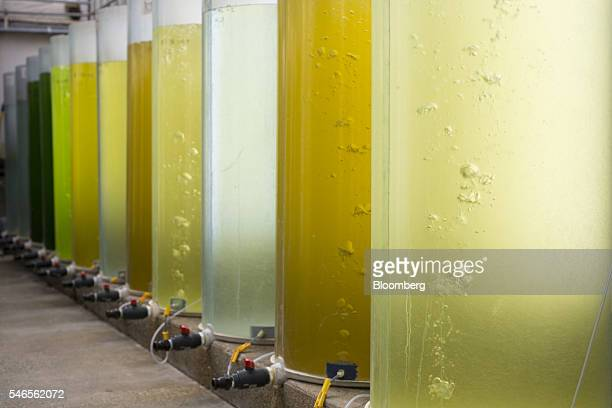 Tanks hold algae grown for feeding geoducks at a Taylor Shellfish Co hatchery in Quilcene Washington US on Monday May 9 2016 Geoducks are the largest...