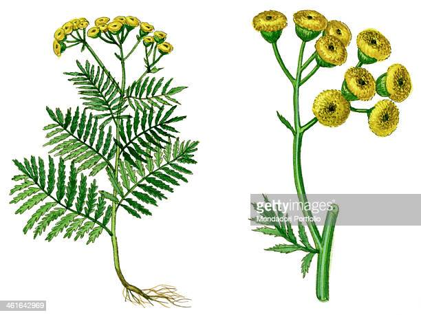 Tansy by Giglioli E 20th Century ink and watercolour on paper Whole artwork view Drawing of the plant and the flower of Tansy