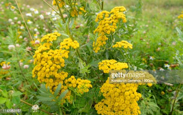 tansy flower closeup - tansy stock pictures, royalty-free photos & images