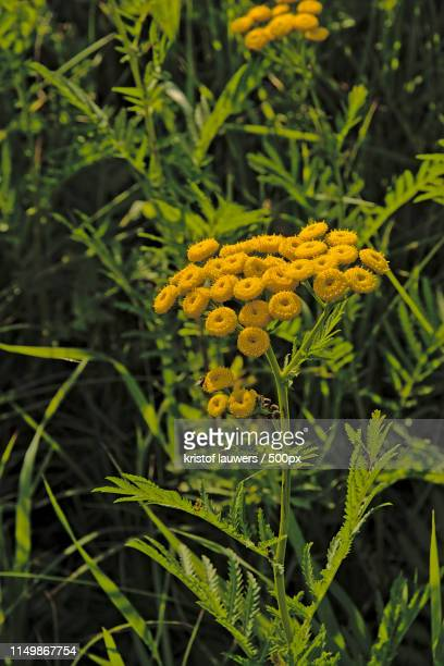 tansy flowers - tansy stock pictures, royalty-free photos & images