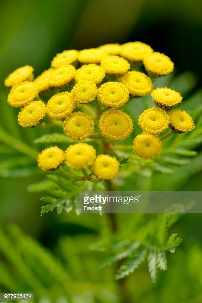tansy (tanacetum vulgare), inflorescence, north rhine-westphalia, germany - tansy stock pictures, royalty-free photos & images