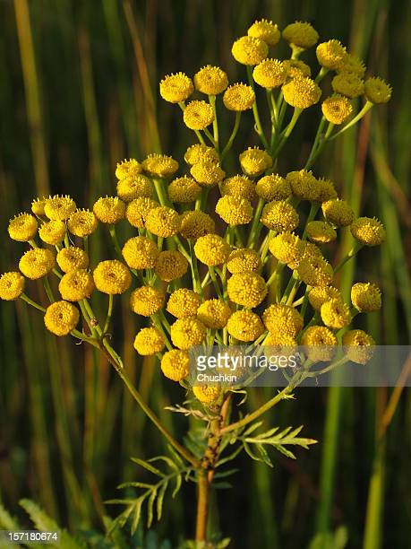 tansy - tansy stock pictures, royalty-free photos & images
