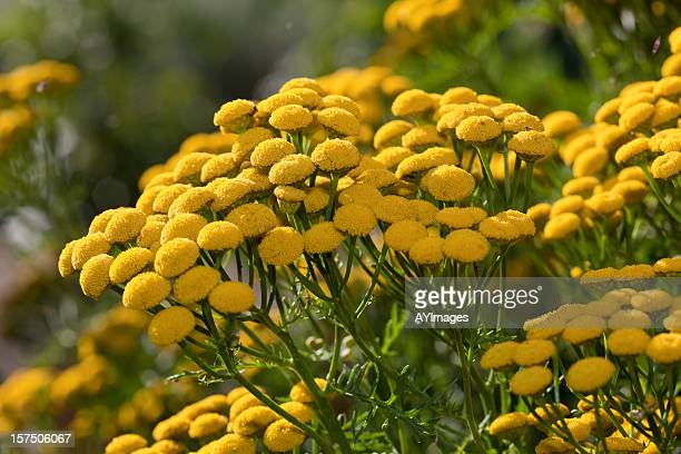 tansy (tanacetum vulgare) - tansy stock pictures, royalty-free photos & images