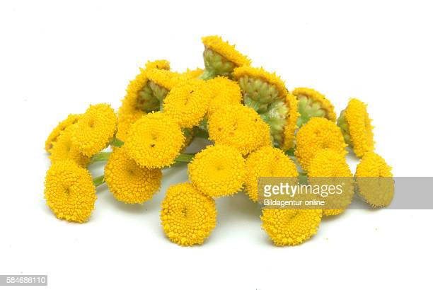 Tansy, Tanacetum vulgare. Tansy was used to treat intestinal worms, rheumatism, digestive problems, fevers, sores, and to bring out measles.