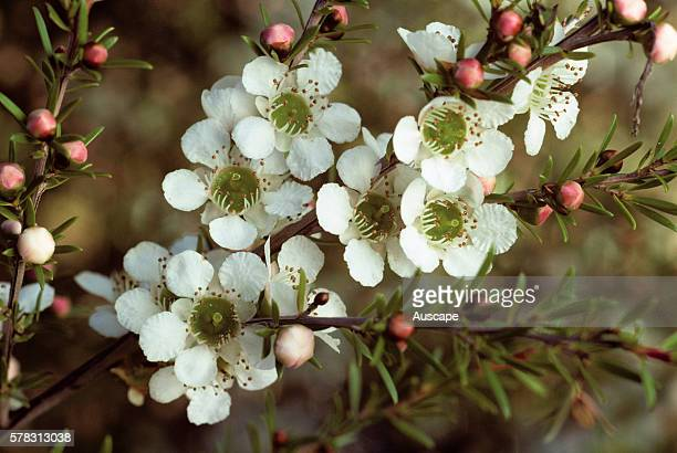 Tantoon 'Cardwell' Leptospermum polygalifolium var flowers close up origin east coast New South Wales and Queensland photo Joseph Banks Gardens...