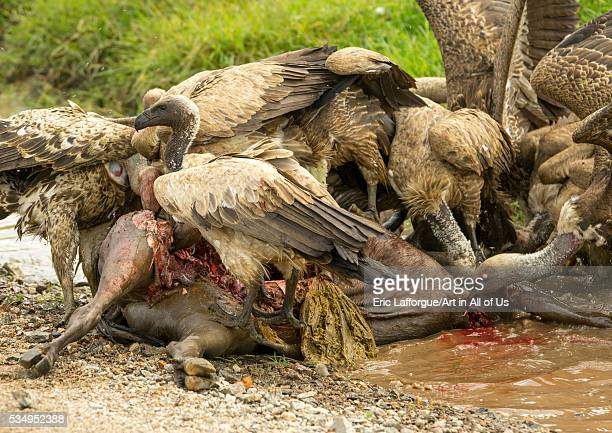 Tanzania Mara Serengeti National Park african whitebacked vultures feeding on justkilled wildbeest