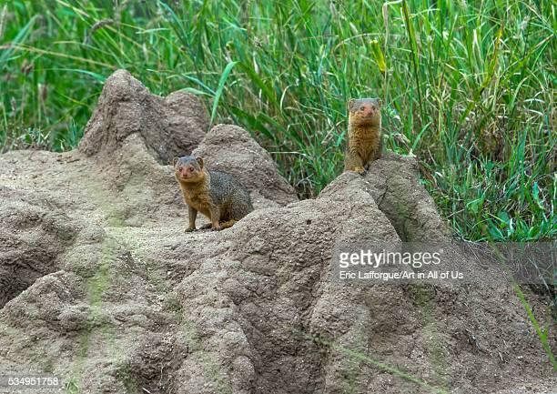 Tanzania Mara Serengeti National Park dwarf mongoose