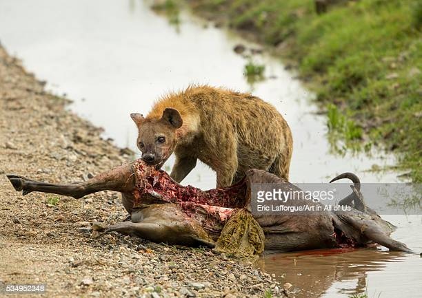 Tanzania Mara Serengeti National Park spotted hyaena feeding on justkilled wildbeest