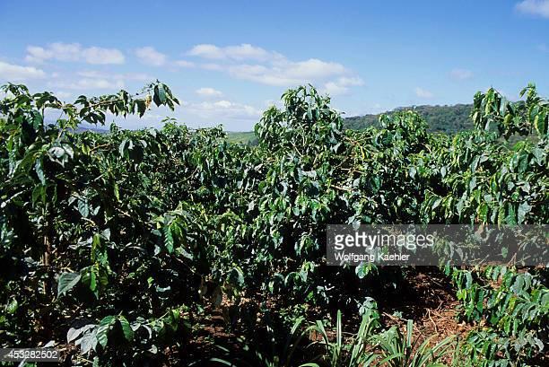 Tanzania Near Arusha Coffee Plantation Coffee Bushes