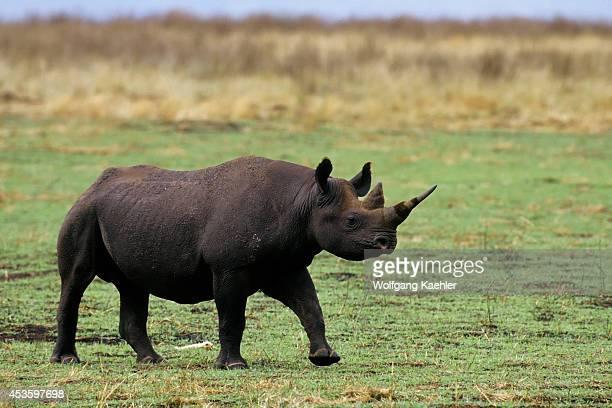 Tanzania Ngorongoro Crater Black Rhinoceros