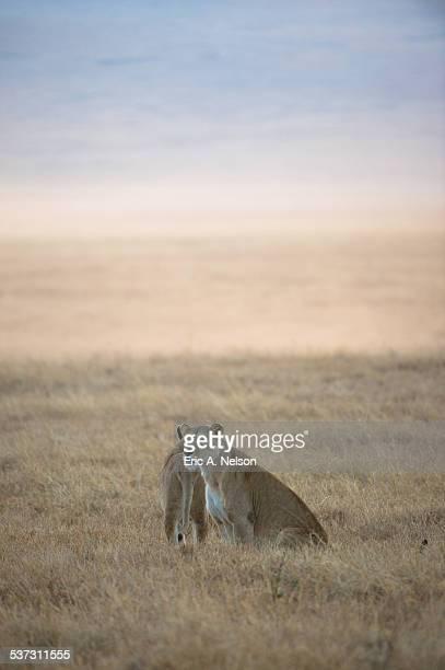 Tanzania, Ngorongoro Crater, Lioness