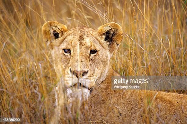 Tanzania Ngorongoro Crater Lioness Portrait