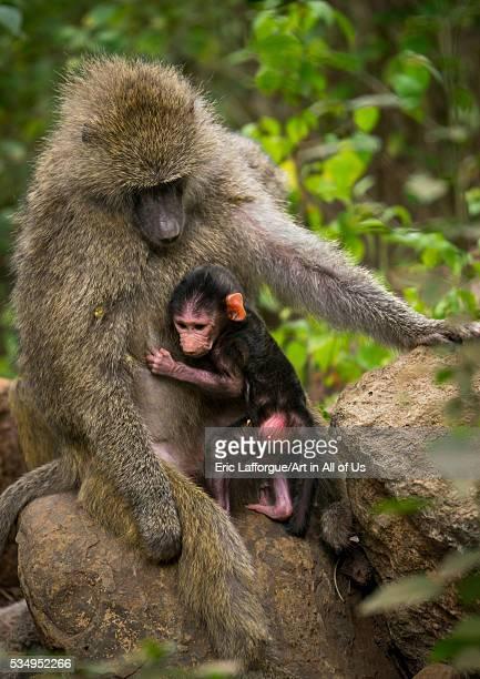 Tanzania Park Manyara Arusha olive baboon adult with a baby